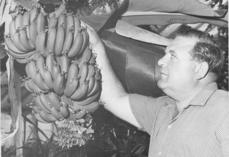 Bananas grown in Wickford