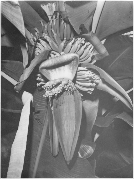 The banana tree flowers and growing fruit | From the private collection of Mrs D Bilewycz