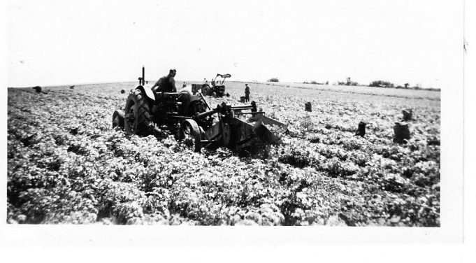 Potato harvest at South Hanningfield in 1956. | Dennis Smith
